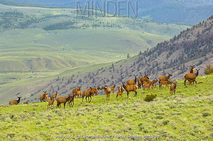 Elk (Cervus elaphus) mothers with their newborn gather in a high mountain meadow Yellowstone National Park, Wyoming, USA, June  -  George Sanker/ npl