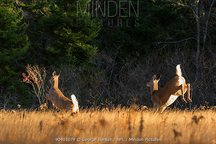 White-tailed Deer (Odocoileus virginianus) rear view of does running through meadow at sunrise Acadia National Park, Maine, USA, November  -  George Sanker/ npl