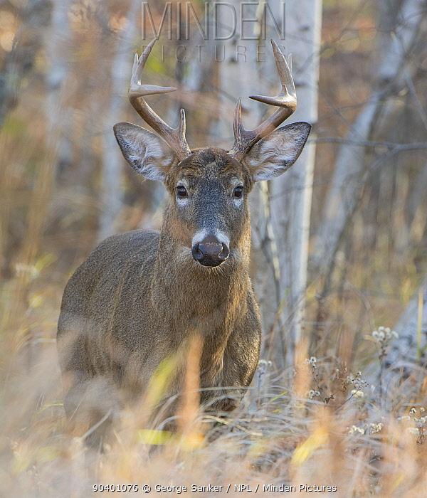 White-tailed Deer (Odocoileus virginianus) mature buck Acadia National Park, Maine, USA, November  -  George Sanker/ npl