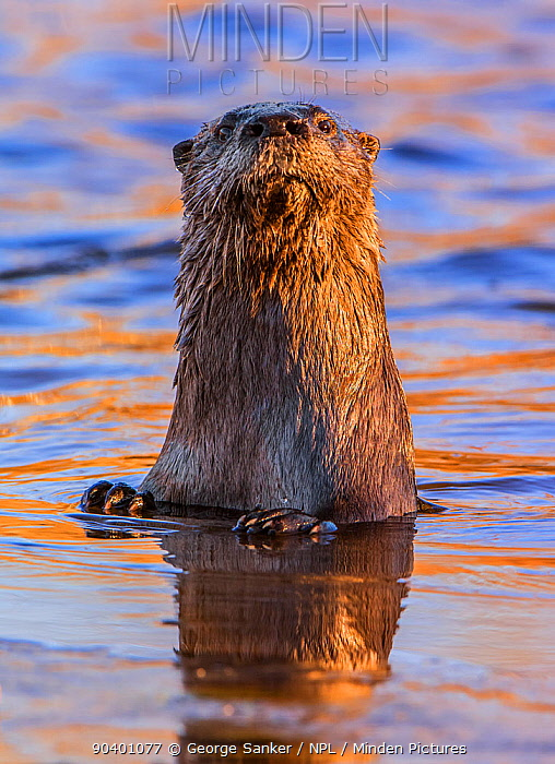 North American River Otter (Lontra canadensis) looking up curiously in a beaver pond Acadia National Park, Maine, USA, November  -  George Sanker/ npl