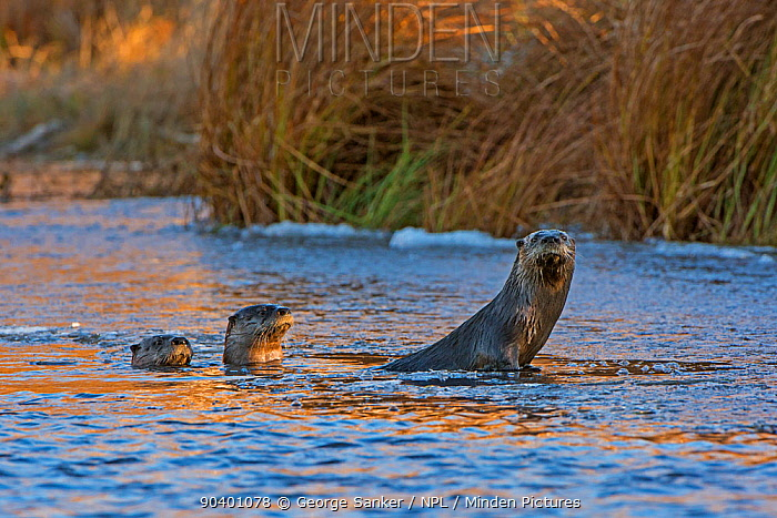 North American River Otters (Lontra canadensis) on ice in a beaver pond Acadia National Park, Maine, USA, November  -  George Sanker/ npl