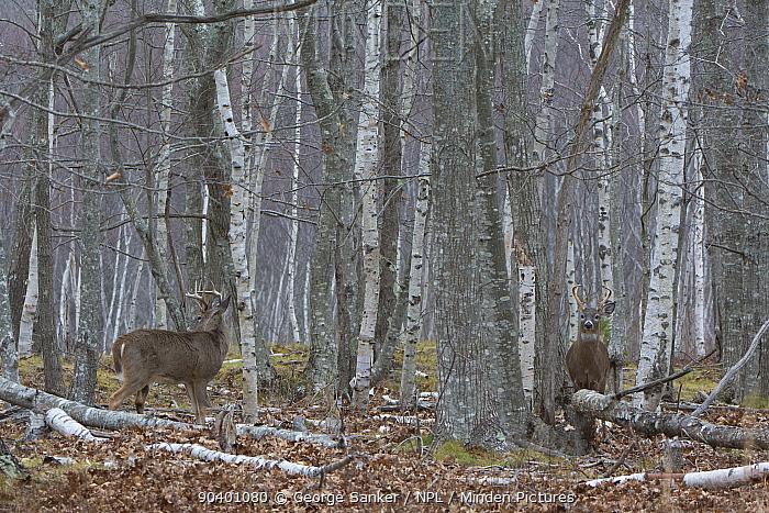 White-tailed Deer (Odocoileus virginianus) mature bucks in birch woods Acadia National Park, Maine, USA, November  -  George Sanker/ npl