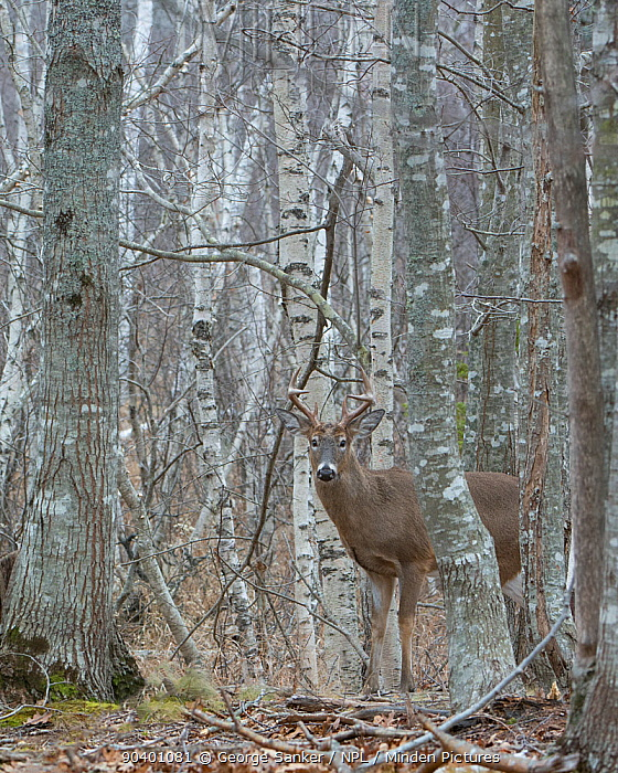 White-tailed Deer (Odocoileus virginianus) mature buck in birch woods Acadia National Park, Maine, USA, November  -  George Sanker/ npl