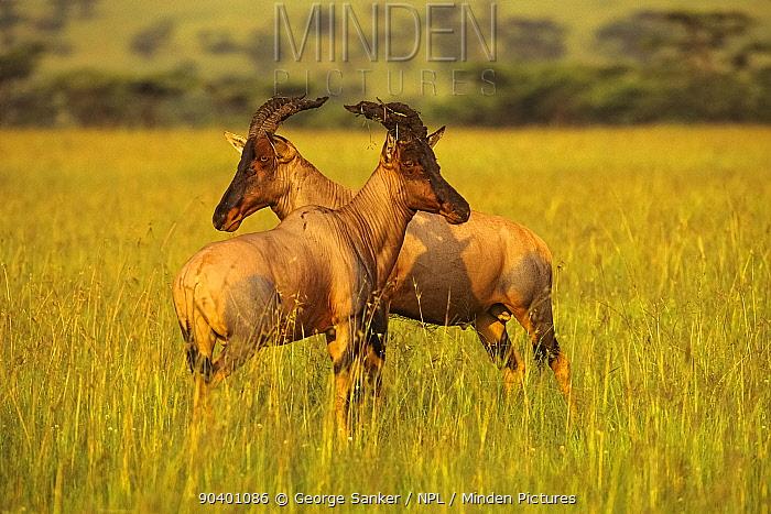 Topis (Damaliscus korrigum) mature males sparring in a Serengeti sunrise Masai Mara National Reserve, Kenya, East Africa, January  -  George Sanker/ npl