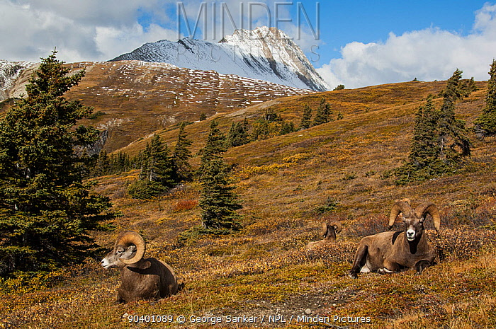 Mature bighorn (Ovis canadensis) rams in a high mountain pass in Jasper National Park, Alberta, Canada, September  -  George Sanker/ npl
