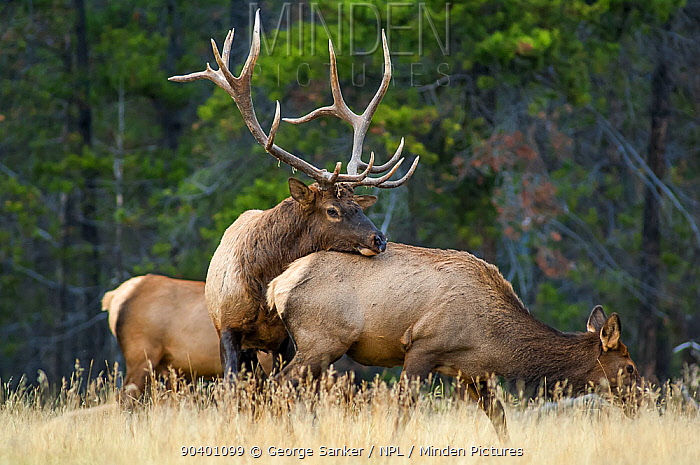 Bull Elk (Cervus elaphus), mature bull checking to see if a female is ready to mate in a high mountain meadow Jasper National Park, Alberta, Canada, October  -  George Sanker/ npl