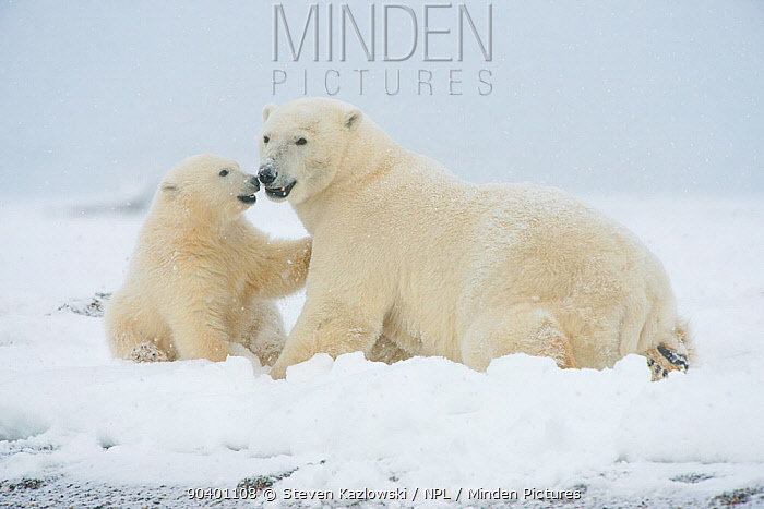 Polar bear (Ursus maritimus) sow with spring cub playing with one another on a barrier island during autumn freeze up, Bernard Spit, North Slope, Arctic coast of Alaska, September  -  Steven Kazlowski/ npl