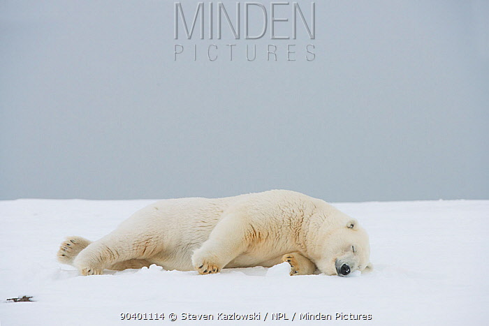 Polar bear (Ursus maritimus) sow resting on a barrier island during autumn freeze up, Bernard Spit, North Slope, Arctic coast of Alaska, September  -  Steven Kazlowski/ npl