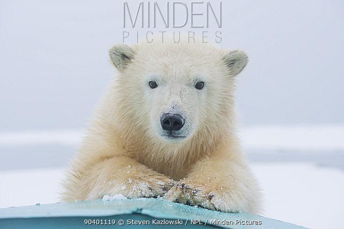 Polar bear (Ursus maritimus) portrait of a yearling along Bernard Spit, a barrier island, during autumn freeze up, along the eastern Arctic coast of Alaska, Beaufort Sea, September  -  Steven Kazlowski/ npl