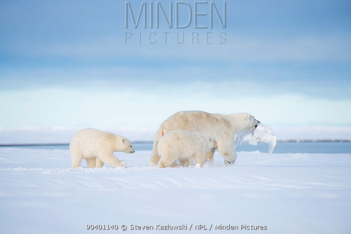 Polar bear (Ursus maritimus) sow with prey in mouth and two cubs following, on a barrier island during autumn freeze up, Bernard Spit, North Slope, Arctic coast of Alaska, September  -  Steven Kazlowski/ npl