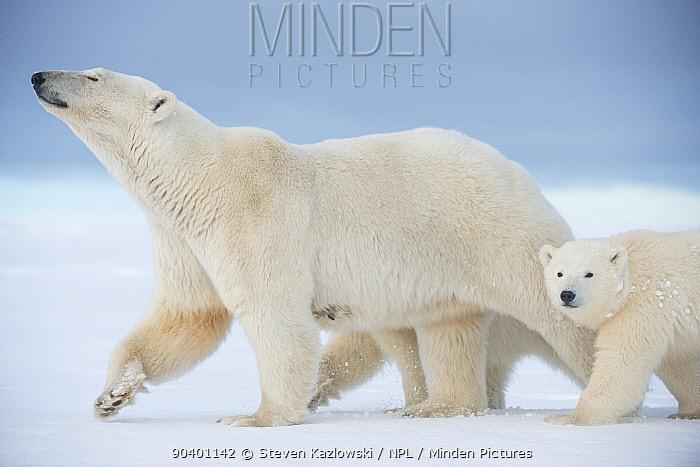 Polar bear (Ursus maritimus) sow with a pair of cubs walk on a barrier island during autumn freeze up, Bernard Spit, North Slope, Arctic coast of Alaska, September  -  Steven Kazlowski/ npl