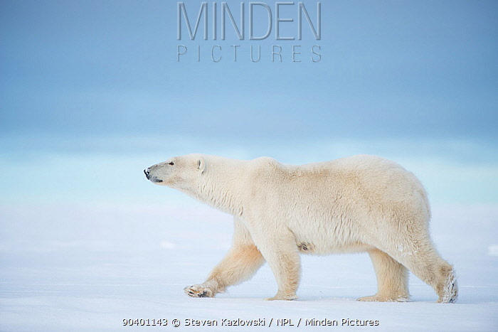 Polar bear (Ursus maritimus) sow walking on a barrier island during autumn freeze up, Bernard Spit, North Slope, Arctic coast of Alaska, September  -  Steven Kazlowski/ npl