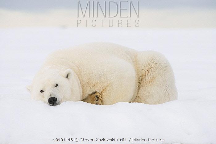 Polar bear (Ursus maritimus) sow resting on a barrier island during autumn freeze up, Bernard Spit, North Slope, Alaska, September  -  Steven Kazlowski/ npl