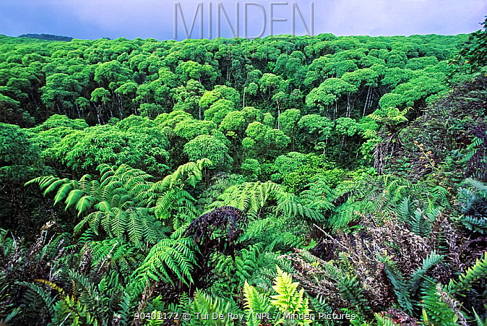 Scalesia Forest (Scalesia sp) with tree ferns during cold season Highlands, Santa Cruz Island, Galapagos  -  Tui De Roy/ npl