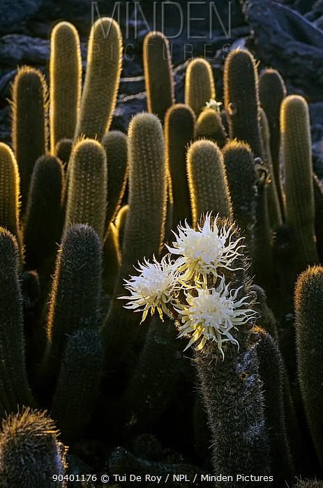 Lava Cactus (Brachycereus nesioticus) in infrequent bloom, nocturnal flowers close at sunrise Cape Hammnond, Fernandina Island, Galapagos  -  Tui De Roy/ npl