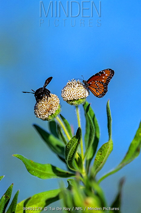 Carpenter Bee (Xylocopa darwinni) and Monarch Butterfly (Danaus plexippus) on Scalesia vilosa flowers Punta Cormorant, Floreana Island, Galapagos  -  Tui De Roy/ npl