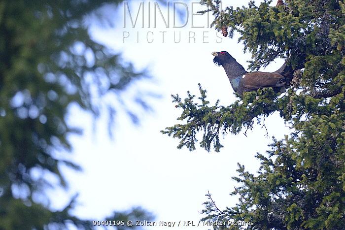 Western Capercaillie (Tetrao urogallus) lekking on a tree in the Retezat Mountains, Retezat National Park, Romania, April  -  Zoltan Nagy/ npl