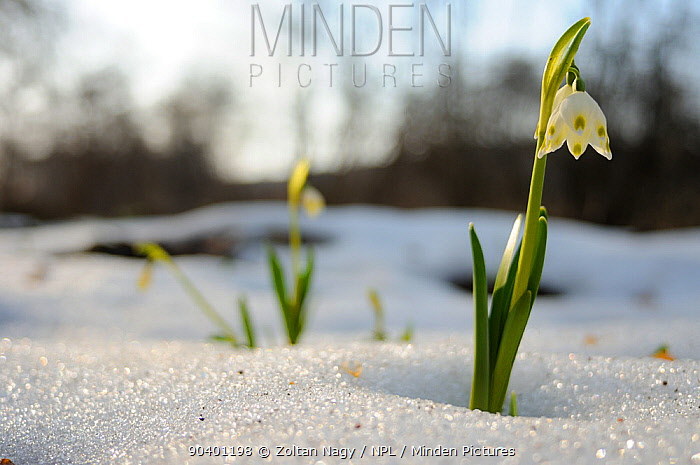 Spring Snowflake (Leucojum vernum) in flower with snow, Gurghiu mountains, Transylvania, Romania April  -  Zoltan Nagy/ npl