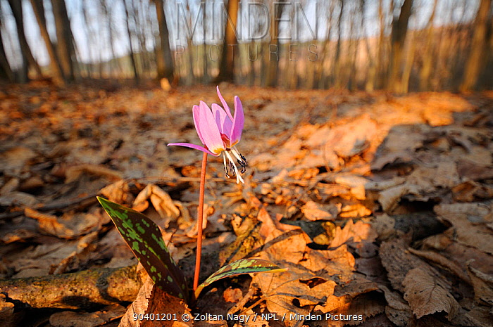 Dogs tooth violet (Erythronium dens-canis) in flower, forests near Targu Mures, Romania March  -  Zoltan Nagy/ npl