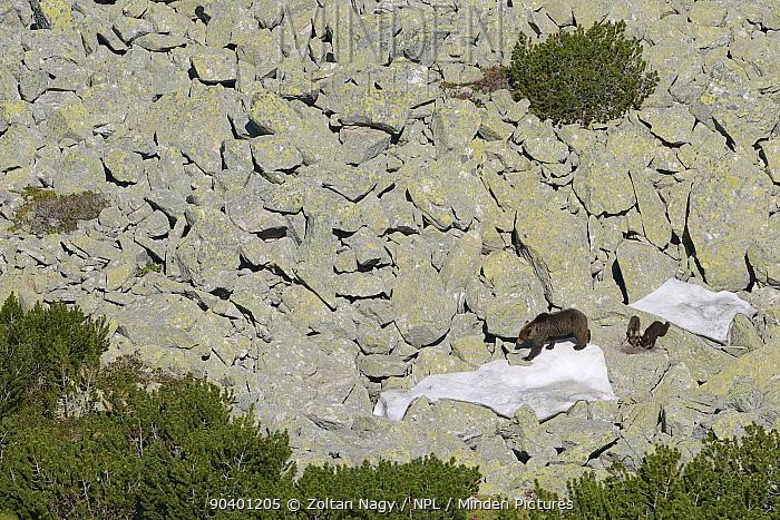 Brown bear (Ursus arctos arctos) mother with small cubs among dwarf pine (Pinus mugo) in the Retezat Mountains, Romania June  -  Zoltan Nagy/ npl