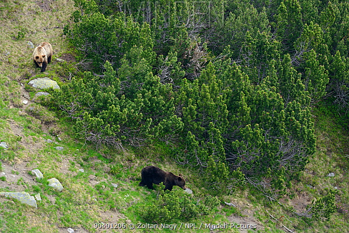Brown bear (Ursus arctos arctos) mother with large cub among dwarf pine (Pinus mugo) in the Retezat Mountains, Romania June  -  Zoltan Nagy/ npl