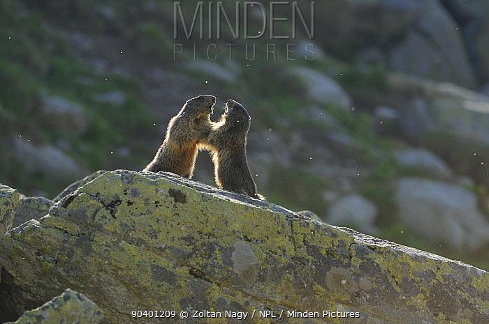 Alpine Marmots (Marmota marmota) fighting over territory in the alpine zone of the Retezat Mountains, Romania June  -  Zoltan Nagy/ npl