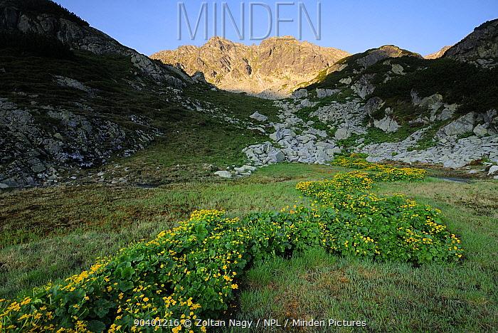 Marsh marigold (Caltha palustris) Retezat Mountains, Romania June  -  Zoltan Nagy/ npl