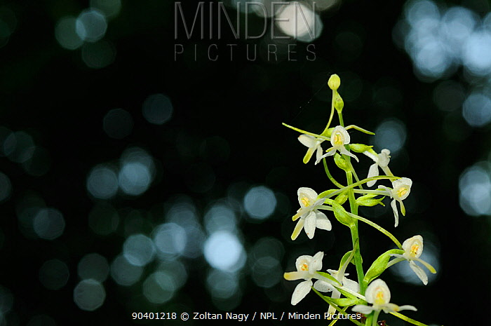 Lesser Butterfly-orchid (Platanthera bifolia) in the forests around Turda Gorge, Romania June  -  Zoltan Nagy/ npl