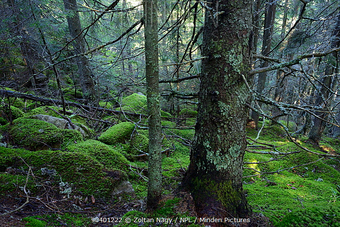 Norway Spruce (Picea abies) forest in the Retezat National Park Carpathian Mountains, Romania September  -  Zoltan Nagy/ npl