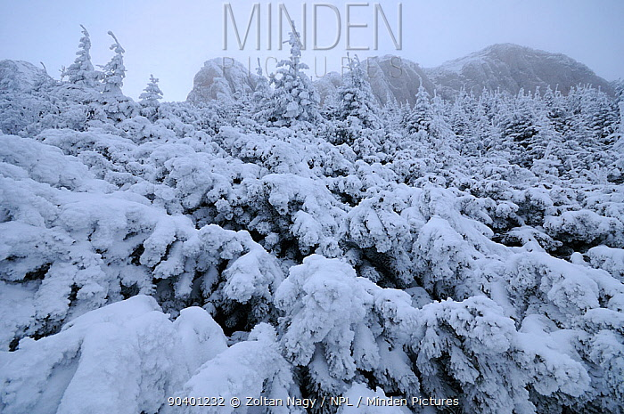 Dwarf mountain pines (Pinus mugo) covered in snow, Ceahlau Mountains, Romania, January  -  Zoltan Nagy/ npl