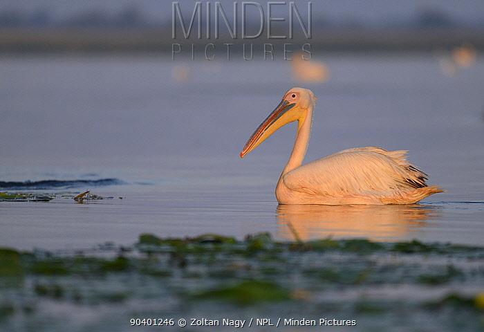 Great White Pelicans (Pelecanus onocrotalus) at dawn in the Danube Delta, Romania, June  -  Zoltan Nagy/ npl
