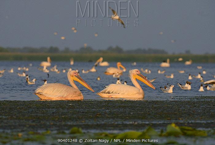 Group of Great White Pelicans (Pelecanus onocrotalus) at dawn, Danube Delta, Romania, June  -  Zoltan Nagy/ npl