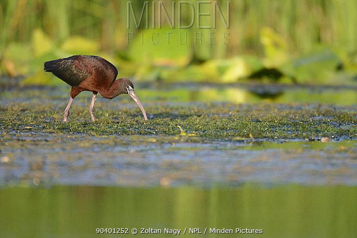 Glossy Ibis (Plegadis falcinellus) foraging in the Danube Delta, Romania June  -  Zoltan Nagy/ npl