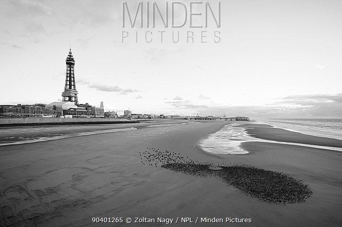 Starlings (Sturnus vulgaris) on the beach in front of Blackpool Tower, England, UK, September 2010  -  Zoltan Nagy/ npl