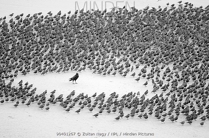 Carrion Crow (Corvus corone) encircled by flock of Starlings (Sturnus vulgaris) resting on the beach in Blackpool, England, October  -  Zoltan Nagy/ npl