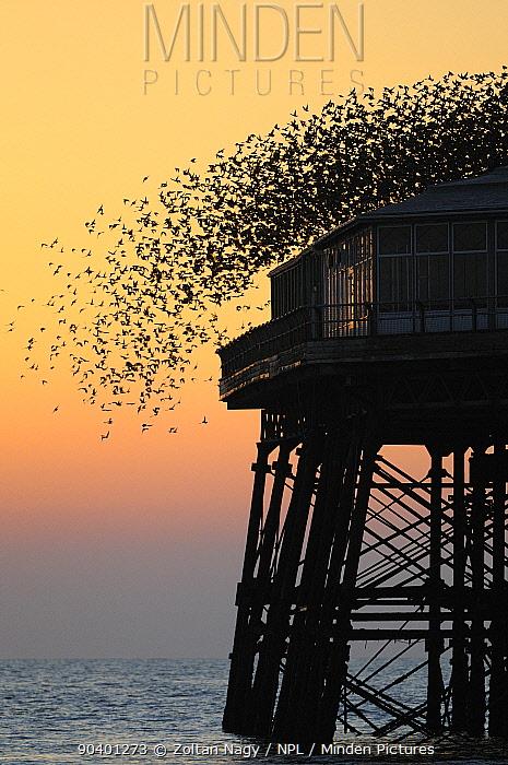 Murmuration of Starlings (Sturnus vulgaris) taking off North Pier in Blackpool, England, UK March 2011  -  Zoltan Nagy/ npl
