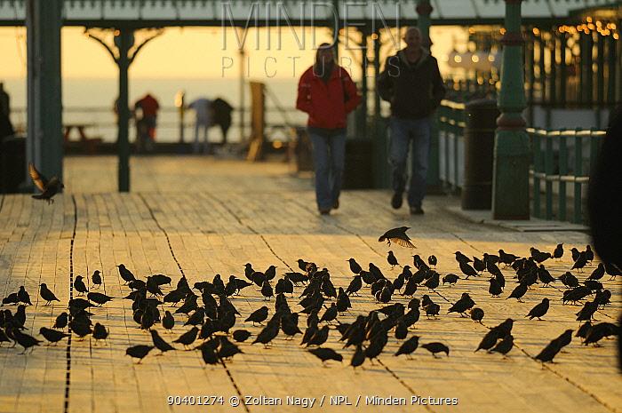 Starlings (Sturnus vulgaris) resting on North Pier in Blackpool, with people in the background England, UK, November 2010  -  Zoltan Nagy/ npl