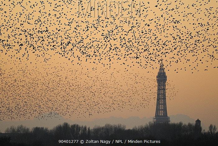 Starlings (Sturnus vulgaris) flocking with Blackpool Tower in the background Taken from Martin Mere Nature Reserve, Blackpool, UK November 2010  -  Zoltan Nagy/ npl