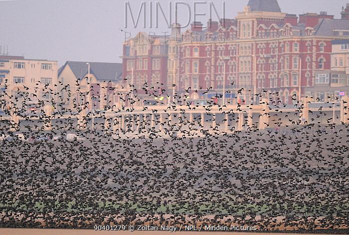 Starlings (Sturnus vulgaris) flocking on Blackpool beach, with the town in the background Blackpool, UK February  -  Zoltan Nagy/ npl