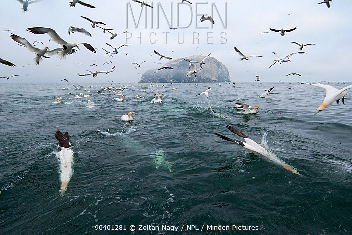 Northern gannets (Morus bassanus) diving for fish thrown from a fishing boat with the island of Bass Rock in the background Scotland, June  -  Zoltan Nagy/ npl