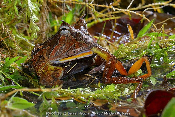 Amazonian horned frog (Ceratophrys cornuta) feeding on frog, French Guiana  -  Daniel Heuclin/ npl