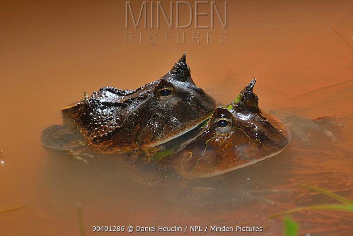 Amazonian horned frogs (Ceratophrys cornuta) in amplexus in water, French Guiana  -  Daniel Heuclin/ npl
