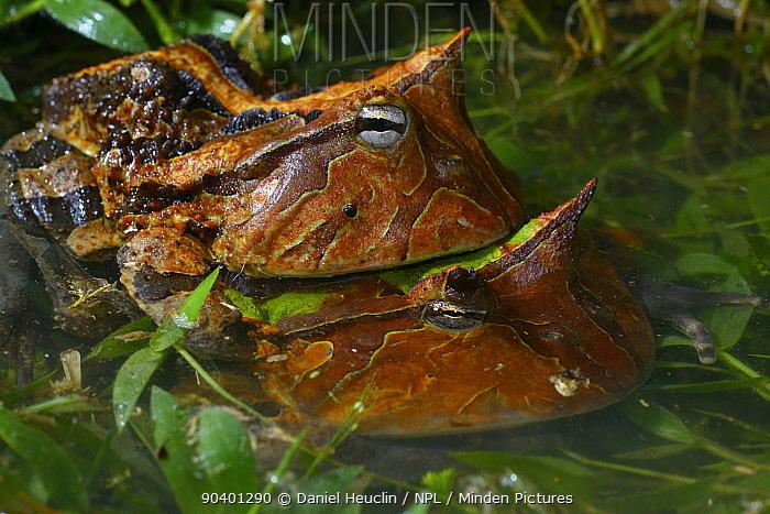 Amazonian horned frogs (Ceratophrys cornuta) in amplexus, French Guiana  -  Daniel Heuclin/ npl