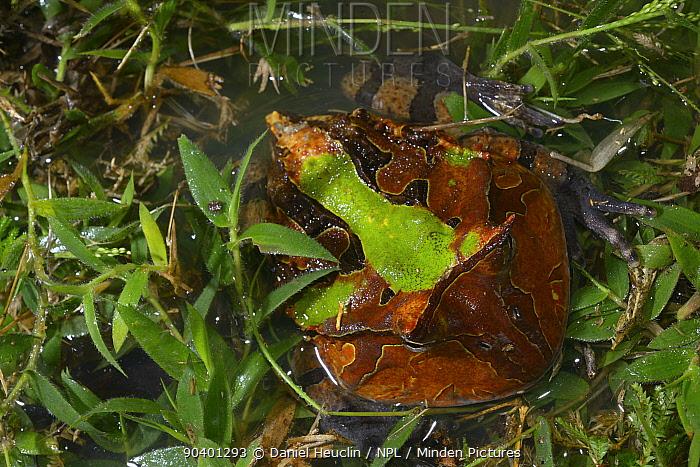 Amazonian horned frog (Ceratophrys cornuta) camouflaged in water, French Guiana  -  Daniel Heuclin/ npl