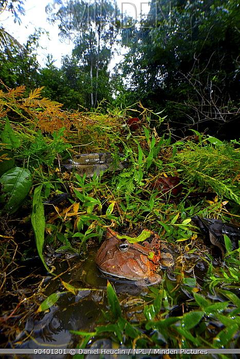Amazonian horned frog (Ceratophrys cornuta) in habitat, French Guiana  -  Daniel Heuclin/ npl