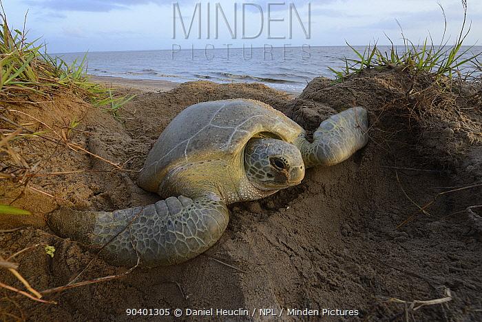 Green sea turtle (Chelonia mydas) digging nest to lay eggs on beach, French Guiana  -  Daniel Heuclin/ npl