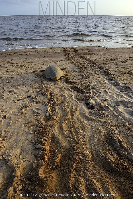 Green sea turtle (Chelonia mydas) returning to the sea after laying eggs, French Guiana  -  Daniel Heuclin/ npl