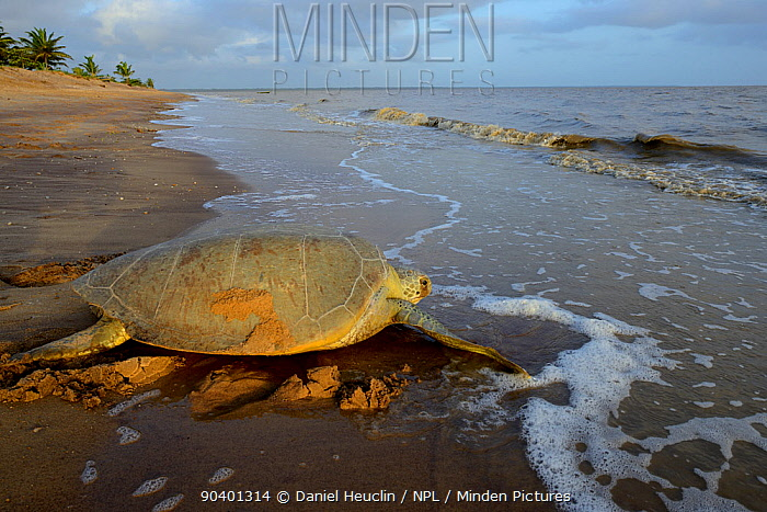 Green sea turtle (Chelonia mydas) returning to the sea after laying eggs, French Guiana  -  Daniel Heuclin/ npl