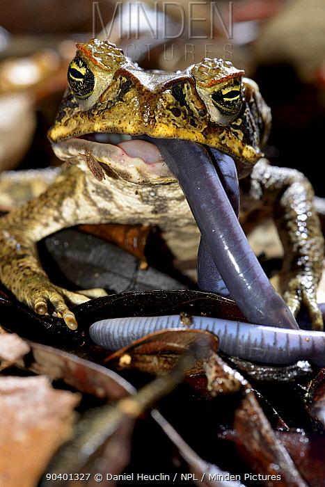 Cane toad (Rhinella marina) eating Bearded caecilia (Caecilia tentaculata) French Guiana  -  Daniel Heuclin/ npl