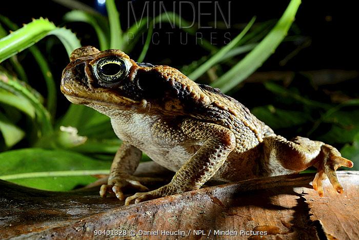 Cane toad (Rhinella marina) French Guiana  -  Daniel Heuclin/ npl